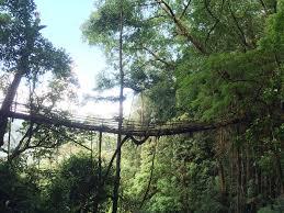 longest living root bridge pynursla u2013 living root bridges