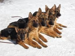 belgian sheepdog german shepherd mix 7 dog breeds developed from the german shepherd u0027s bloodline hubpages