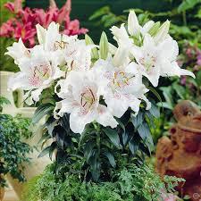 lilium oriental muscadet 3 flower bulbs buy online order now