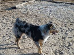 australian shepherd x kelpie texas heelers