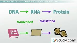 protein synthesis in the cell and the central dogma video