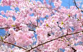 花見 cherry blossom viewing punipunijapan
