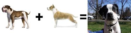american pitbull terrier vs german shepherd 26 mutt math equations barkpost