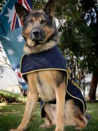 belgian shepherd for sale australia royal australian air force military working dogs considered for