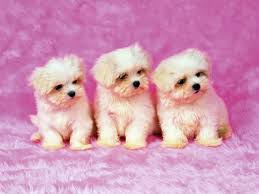 cute dog wallpapers cute shih tzu puppies wallpaper for your computer desktop free