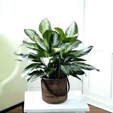 plants that need low light low light indoor plants macky co