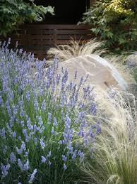 15 best lavender grass ideas images on lavender