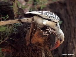 hornbills kenya photos mad traveler