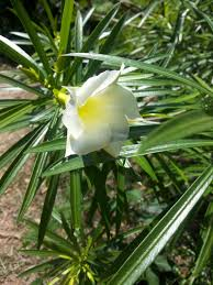 flowering trees thevetia peruviana thevetia peruviana white