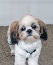 pictures of shih tzu haircuts how to groom a shih tzu an easy introduction