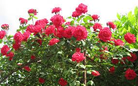 Flower Wallpaper Rose Flower Wallpaper