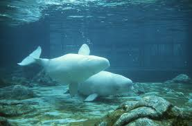 beluga whale photos