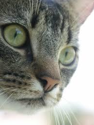 file male mackerel tabby cat jpg wikimedia commons
