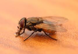 Tiny Black Flies In The House by Identify Your Fly What U0027s The Buzz