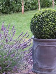 English Box Topiary - newly planted formal country garden silver birch box topiary