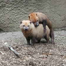 bush dog natural history