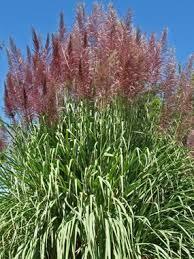 hardy sugar plume grass saccharum arundinaceum 10 12