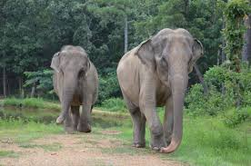 elephant facts the elephant sanctuary in tennessee