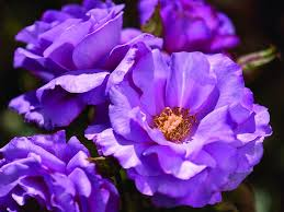 Most Fragrant Plants - stop and smell the u2026 our list of the most fragrant roses star