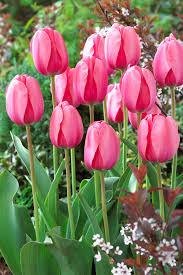 bloomsz darwin tulip bulbs pink impression flower bulb 20 pack