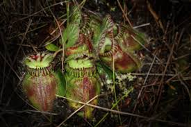 plants native to america sheds light on how carnivorous plants acquired a taste for meat