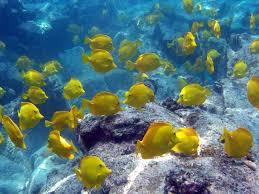 ethical battle over harvesting aquarium fish in hawaii cbs news