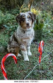 australian shepherd puppies queensland australian christmas stock photos u0026 australian christmas stock