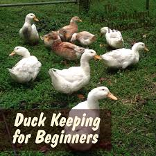 Guide To Raising Backyard Chickens by A Beginner U0027s Guide To Keeping Ducks They Are Easier To Raise Than