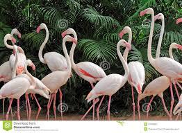 group of pink flamingos stock photo image 43760867