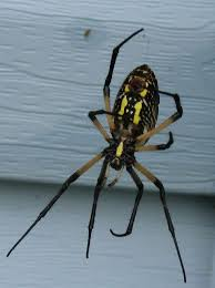Indiana travel bug images This is a black and yellow garden spider in indiana we call them jpg
