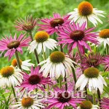 online buy wholesale echinacea plant from china echinacea plant