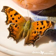 open wing color orange butterflies gardens with wings