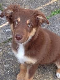 australian shepherd x german shepherd border collie x german shepherd puppy worthing west sussex