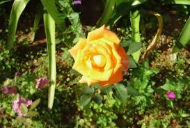 flower orange rose nauture tropical garden flower desktop