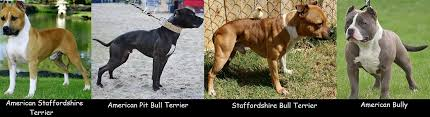 american pitbull terrier types everything you need to know about the apbt