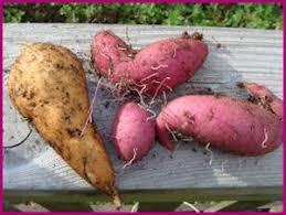 25 unique sweet potato vines ideas on potato vine