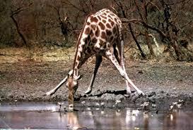Animales salvajes en su habitad. Images?q=tbn:ANd9GcQgJ6jqgdeM5YMU7DH9hg_DxSYM7QhSS0Q43EcWMRE0m8_GJAE&t=1&usg=__GWInJ86kDgc1syBLxy_SXHOkGQk=