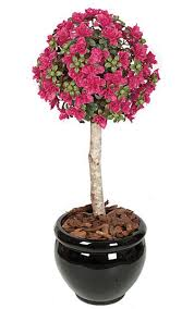 Bougainvillea Topiary - 3 5 u0027 azalea ball topiary natural trunk beauty weighted base