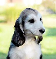 afghan hound pictures afghan hound standing on dirt in front of a fence cute puppies