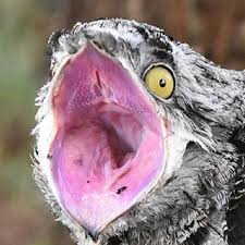 Potoo Bird Meme - our lord and savior potoo on twitter such elegance