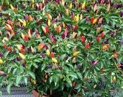 ornamental pepper etsy