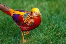 golden pheasant poultry waterfowl ebay