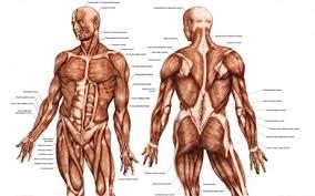 Anatomy Of Stomach And Intestines Human Anatomy Diagram Human Anatomy Charts Understandable Human