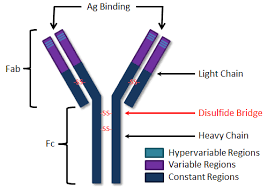 heavy chain light chain immunoglobulins