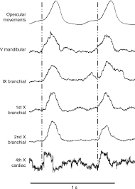 the basis of vagal efferent control of heart rate in a neotropical