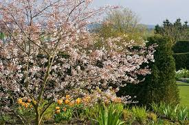 top 10 flowering trees for small gardens rhs gardening