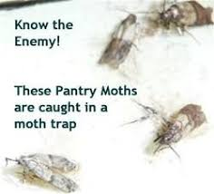 how to get rid of pantry moths use natural pheromone moth traps