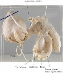 Perineal Dissection Of Synchronous Abdominoperineal Perineal Muscles Wallskid