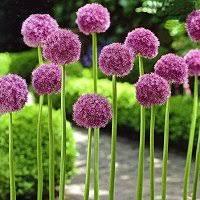 allium bulbs ornamental onions