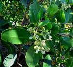 Image result for Laguncularia racemosa